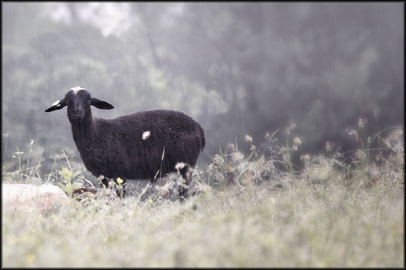 02714pxp.Two_Black_Sheep.jpg
