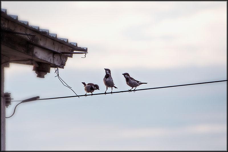 03327pxp.Birds_on_a_Wire.jpg