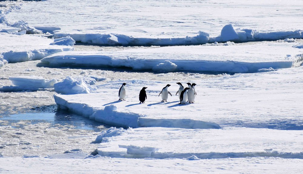 Adélie penguins, Ross Sea                                                                                                                      Copyright © Marlo Garnsworthy