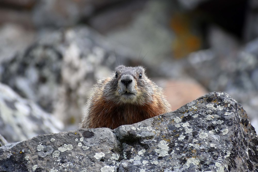 Marmot, Sheepeater Cliffs, Yellowstone NP                         Copyright © Marlo Garnsworthy 2017