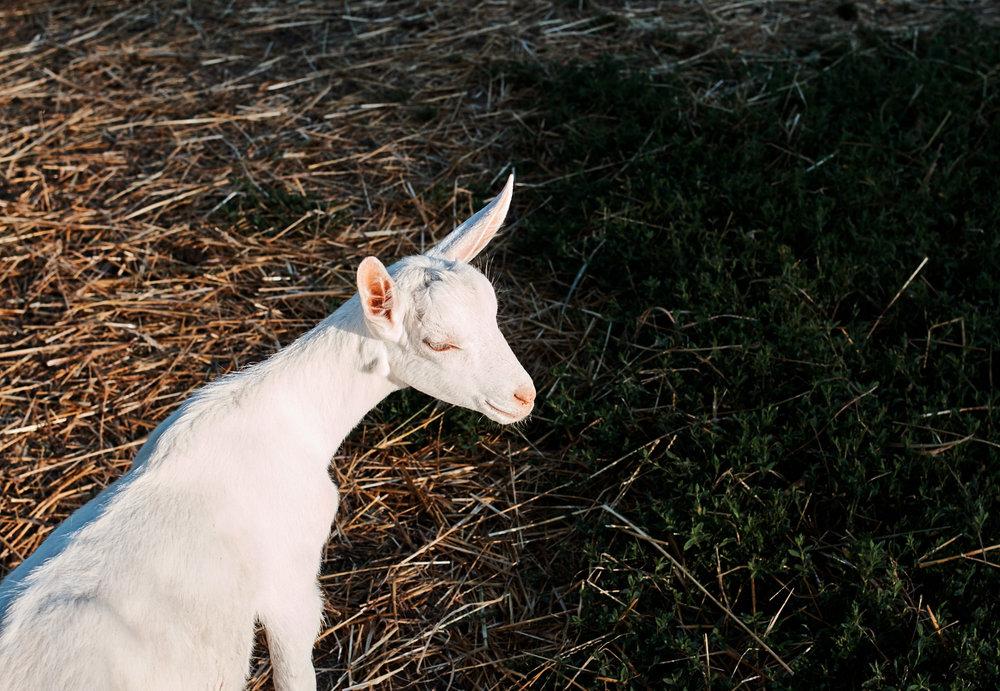 Goats_155.jpg