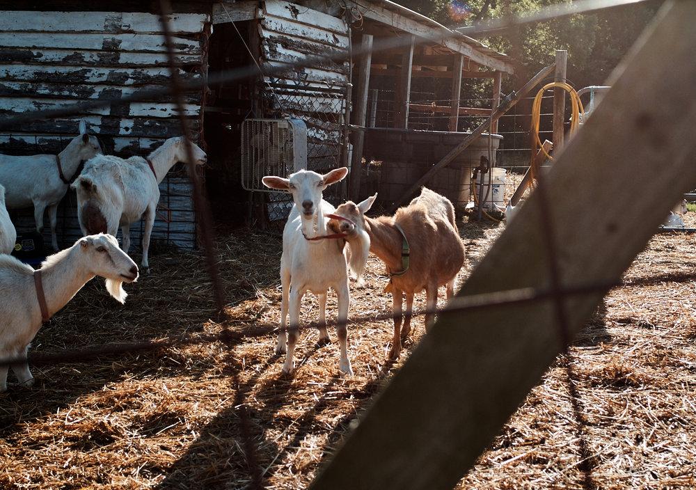 Goats_237.jpg
