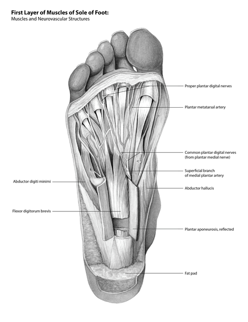Anatomy of the Sole of the Foot — SLK ART
