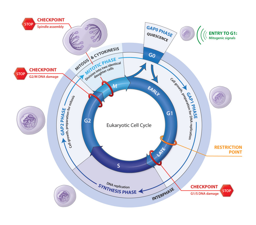 diagram of eukaryotic cell cycle gallery how to guide and refrence. Black Bedroom Furniture Sets. Home Design Ideas