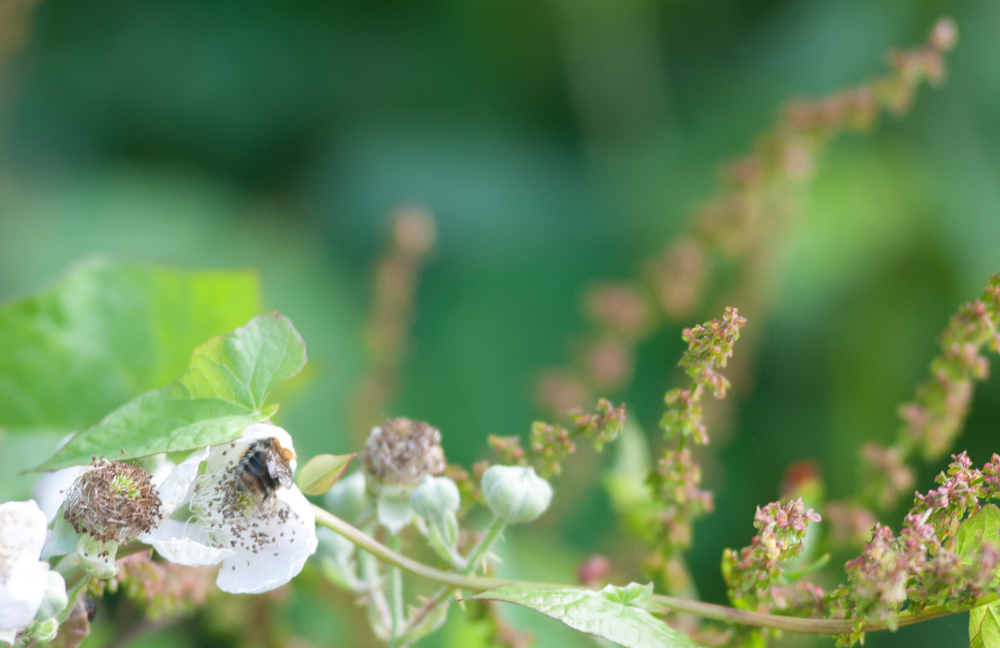 Bee on brambles by Katie Vandyck.jpg