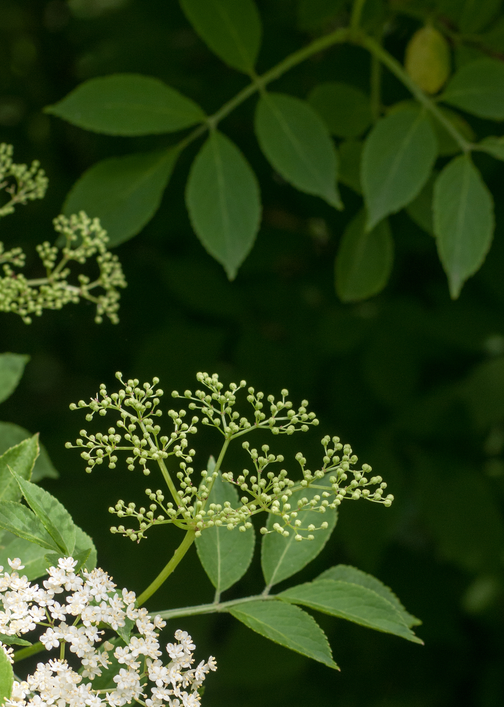 Elder flowers in Railwayland Lewes.jpg