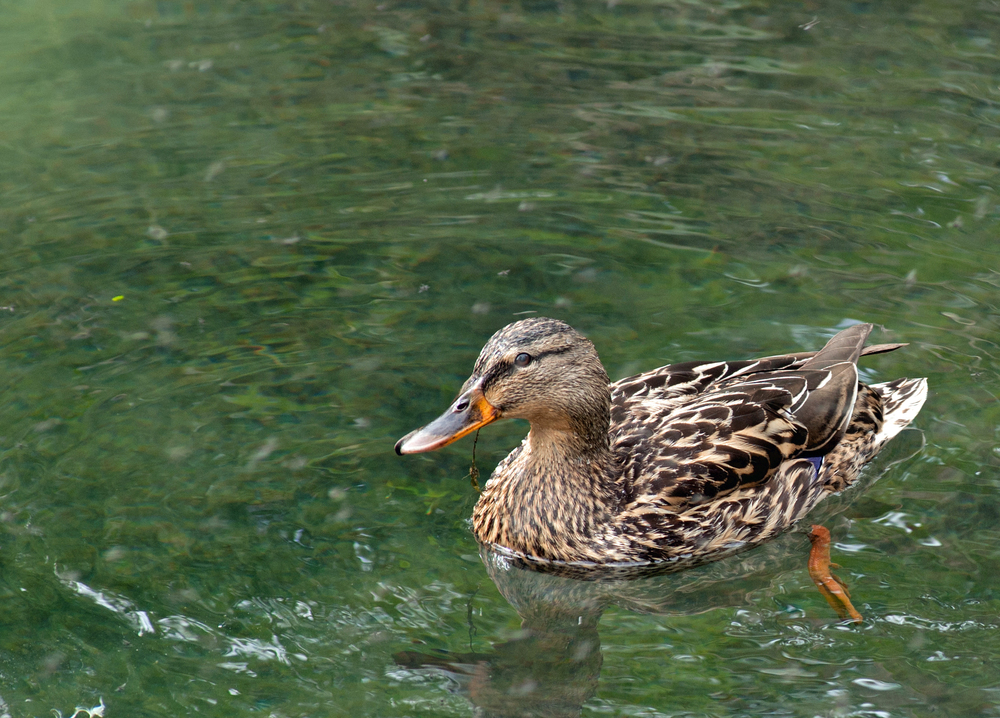 Female Mallard appearing in Railwayland.jpg