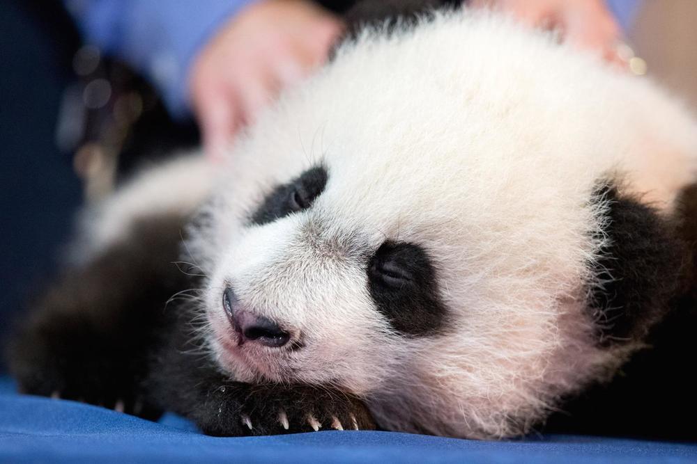 panda-bei-bei-cub.jpg