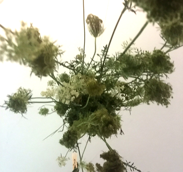 Queen Ann's Lace.  A natural birth control.   https://www.youtube.com/watch?v=KVjj3LqFw_A   This grows as a weed everywhere around the US.  It's free.   I'm still training as an herbalist but Susun S Weed has been at it for a long time. Think again.  #PlannedParenthood #Defunding