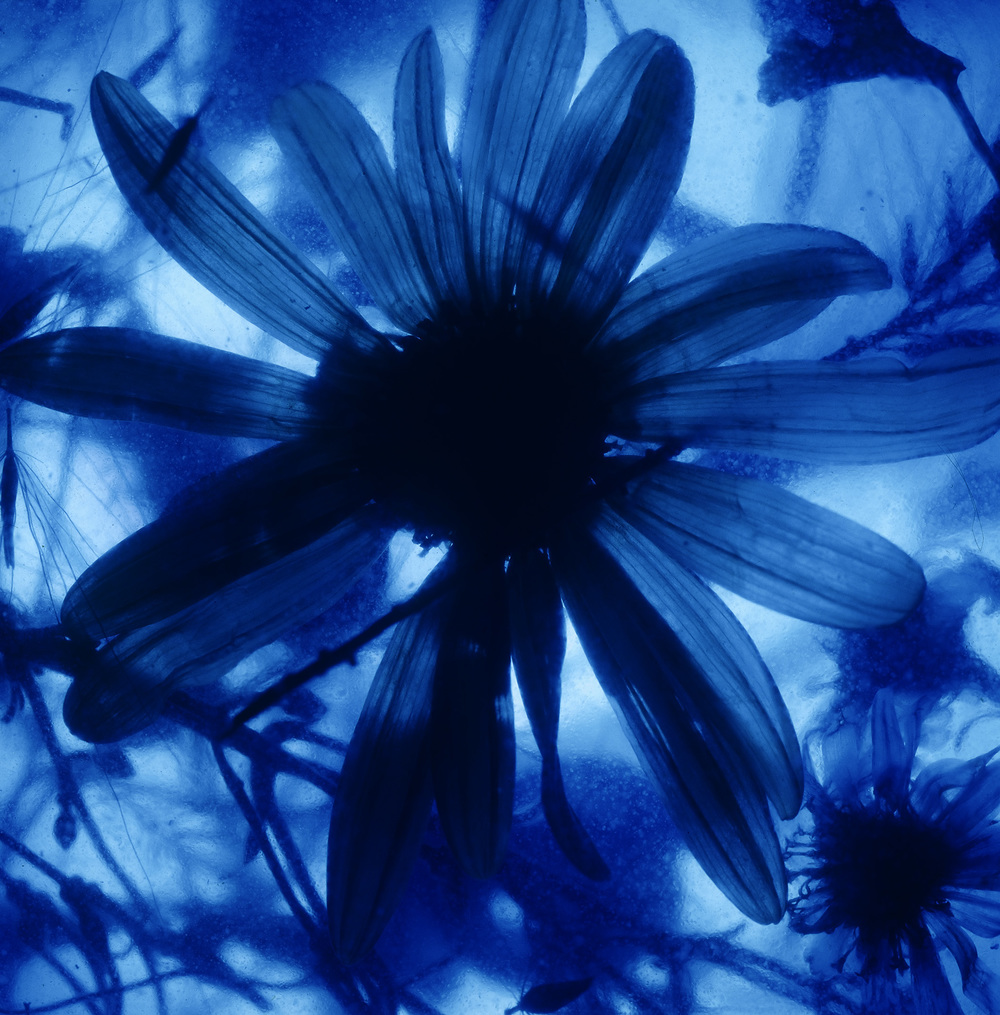 "Jason Horowitz  Still Life (Blue Daisy) , 1994 Archival pigment print 42"" x 42"" on 44"" x 44"" paper Ed. 1 of 5 + 2 AP"