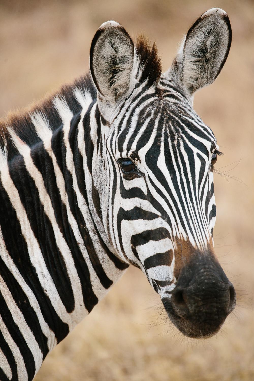 Cameron-Zegers-Photography-tanzania-zebra-1785.jpg