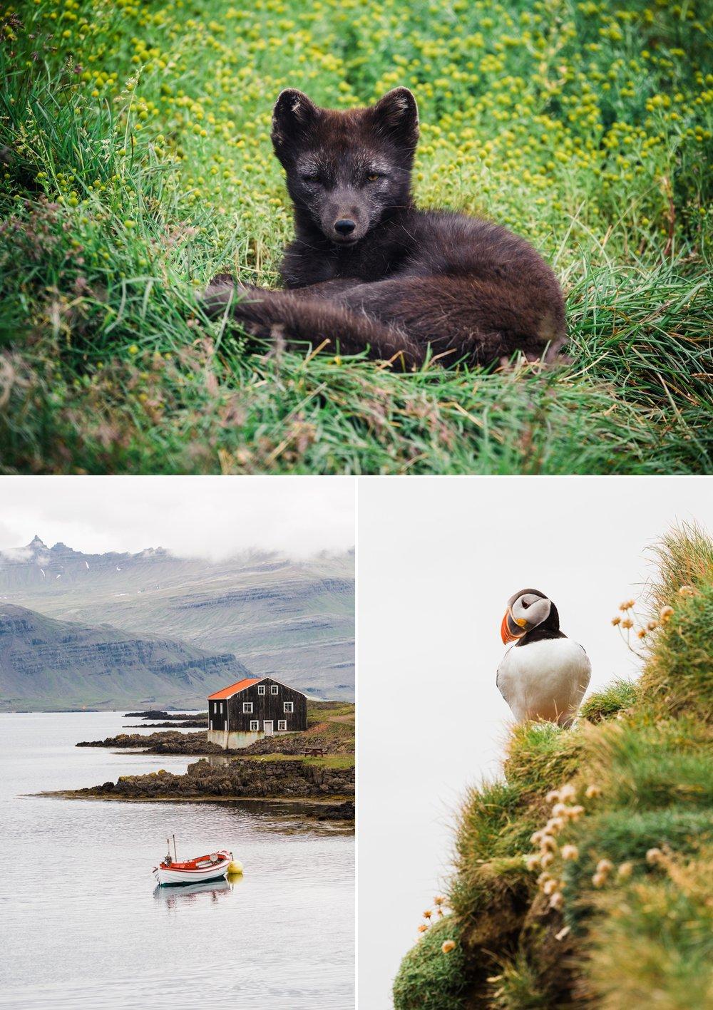8-iceland-wildlife-arctic-fox-puffin.jpg