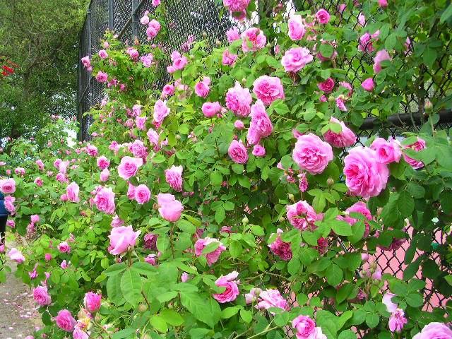 hoa tầm xuân (nguồn: Internet)