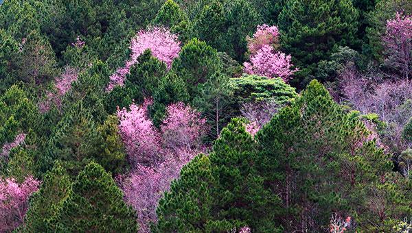 Rực rỡ giữa rừng thông xanh ảnh _T_D_H.jpg