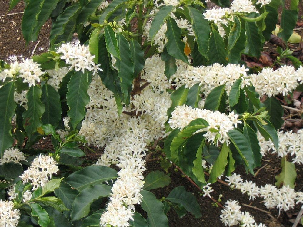 Coffee Flowers Arabica.