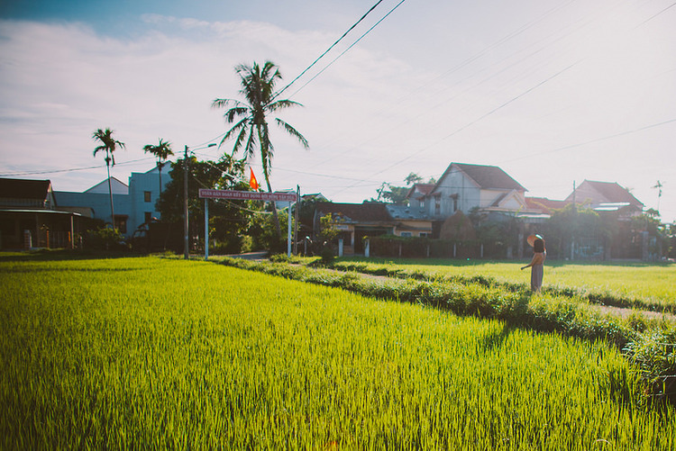 Rice Paddy in Hoi An