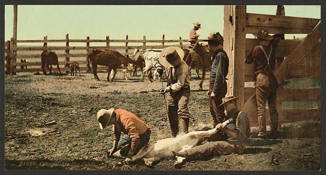 Cowboys Branding Calves in Colorado | Circa 1898
