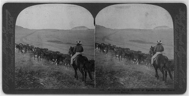 Cowboys Riding Alongside a Herd of Cattle on a Trail in North Dakota | Circa 1905