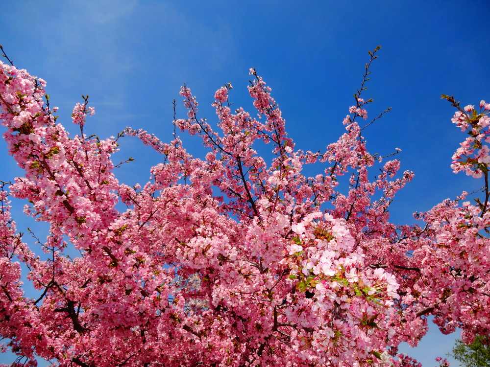 Cherry Blossom Festival 2014, Washington DC | Get There Get Lost Family Vacation