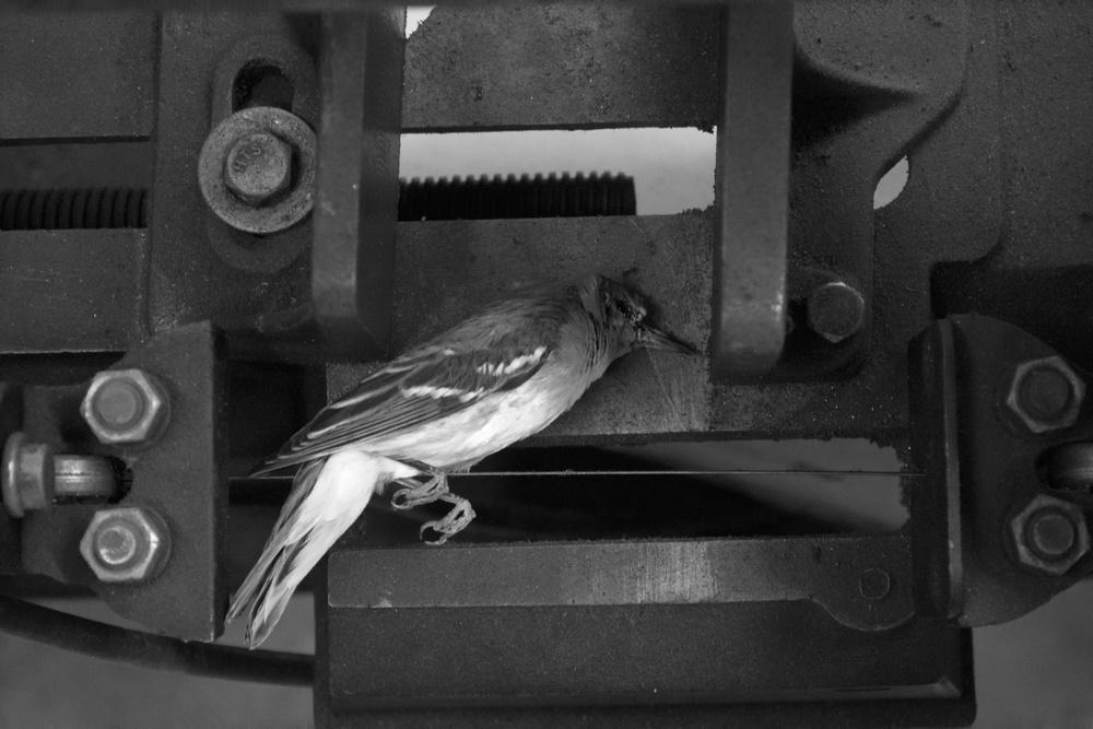 steel bird.jpg