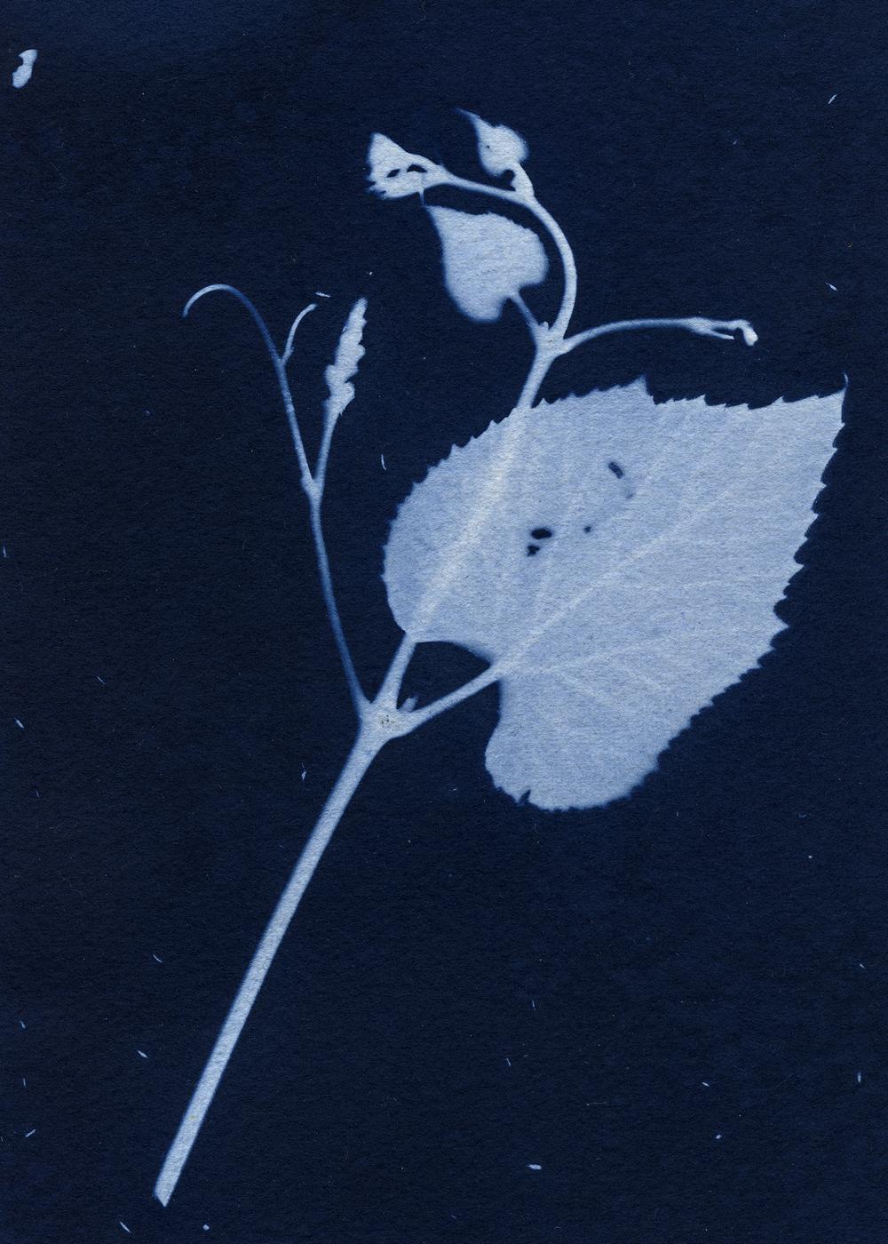 cyanotypes013_pp.jpg