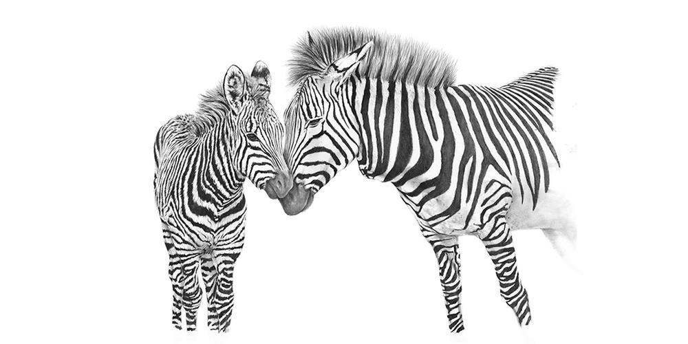 Andrew Howells_Zebras