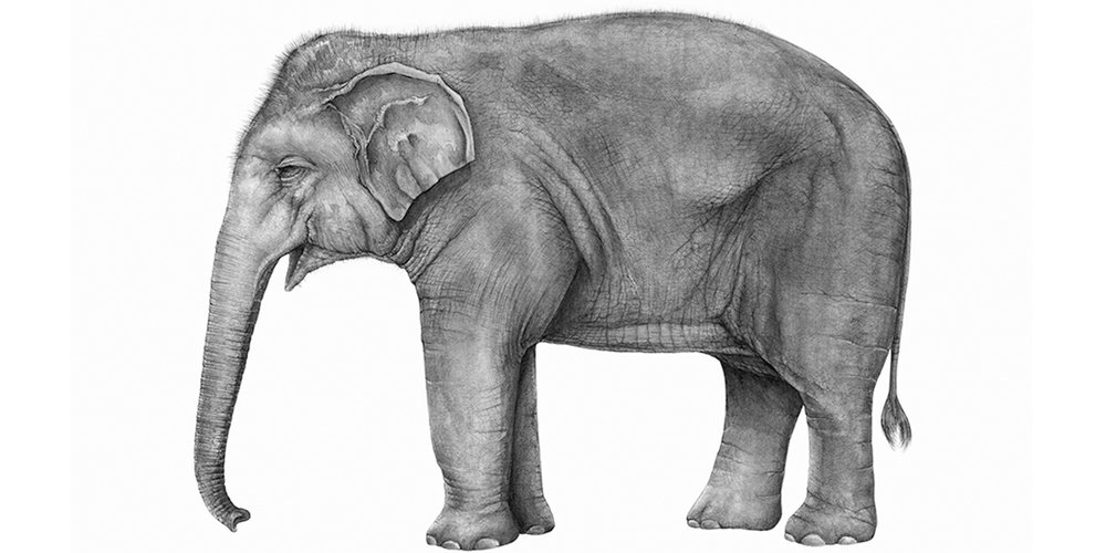 Andrew Howells_Asian Elephant