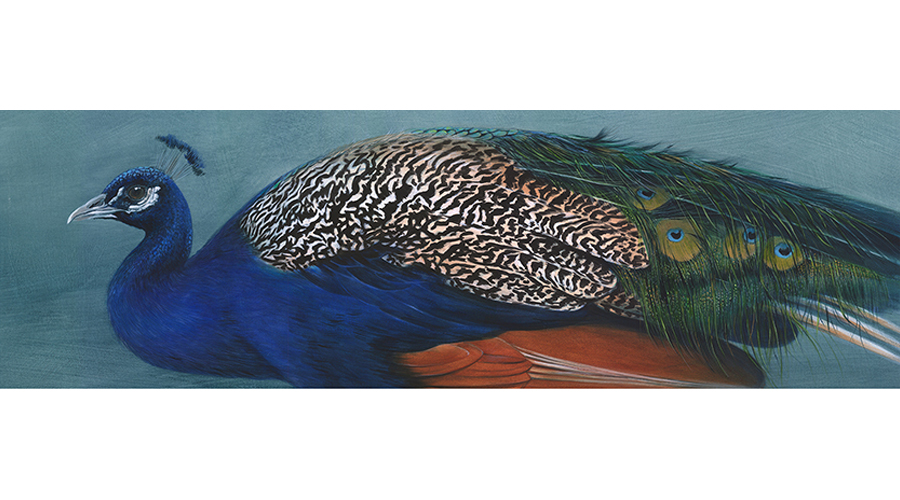 Andrew Howells_Indian Peafowl