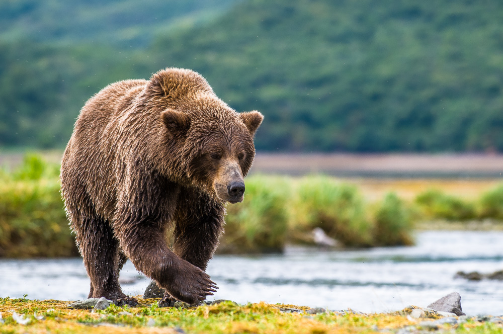 39208837_katmai-grizzly.jpg