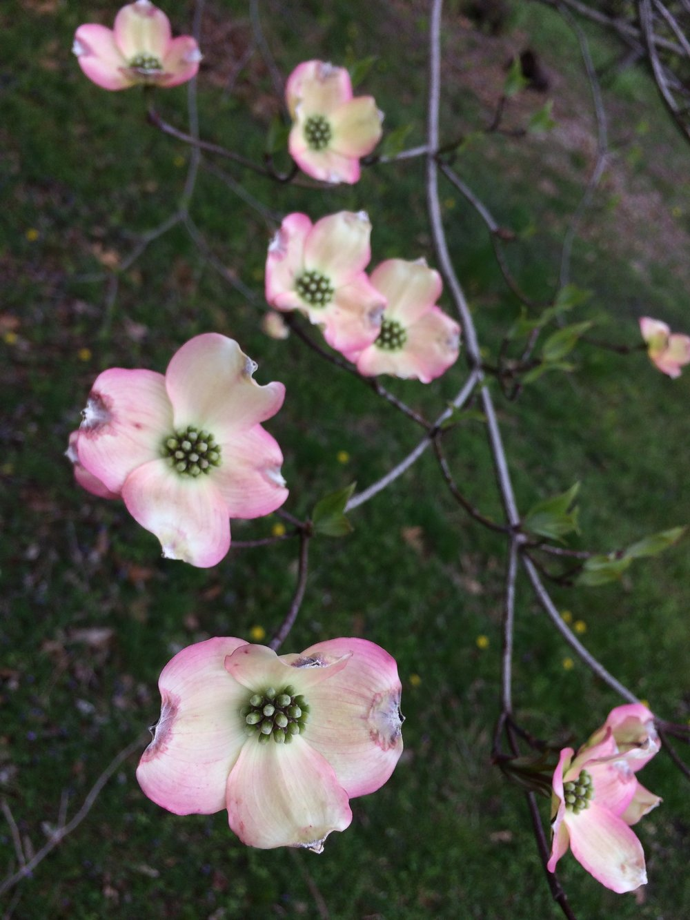 Pink Dogwood, April 2018