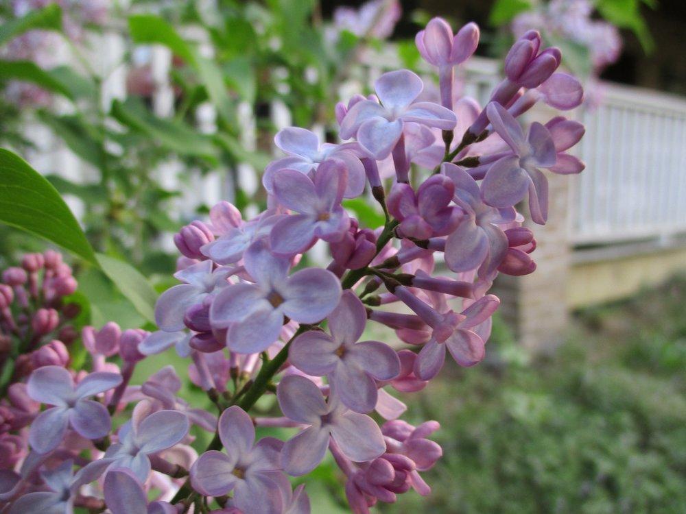 Lilac, May 2018