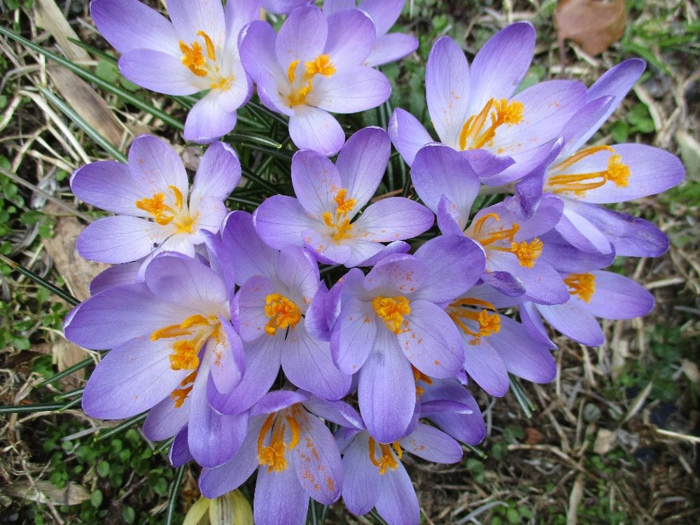 Crocus, April 2018