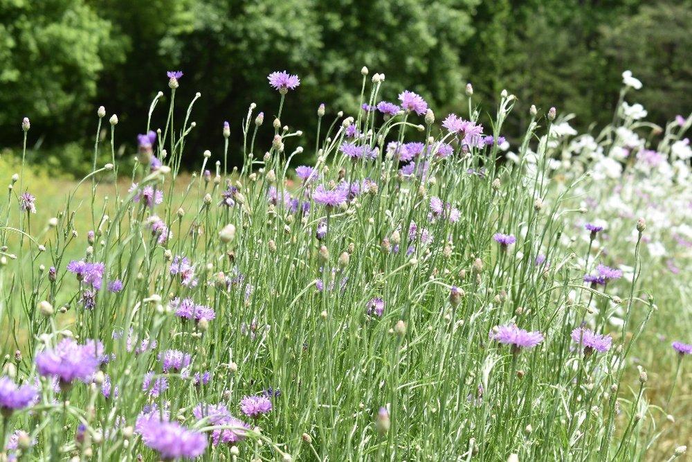 purplebachelorbutton.jpg