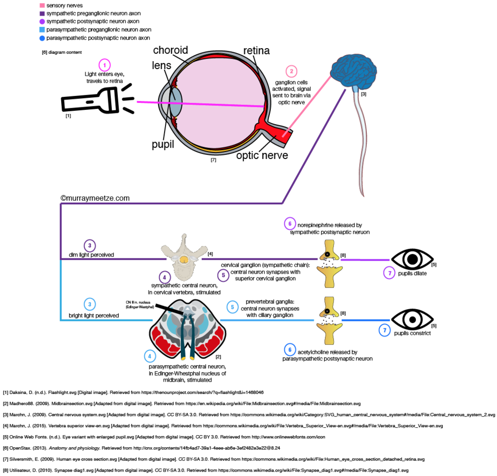 Figure 1: Created by Murray Meetze. Autonomic control of pupillary response to light exposure (OpenStax, 2013).