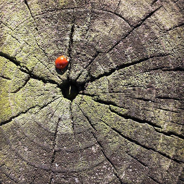 Spotless 🐞 on a stump... #nature #ladybug #spotless #springtime #wood #moss #nature #iphone6s #iphotography