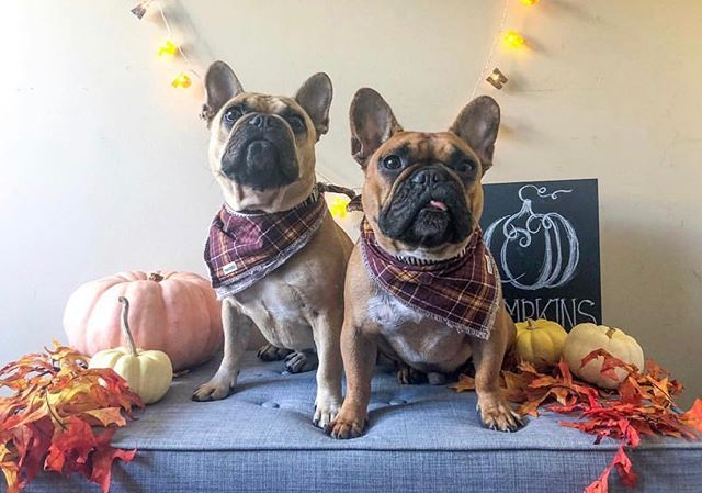 Thanksgiving is around the corner which means our Gobble bandana is back!! 🍁🦃🎃 Model: @peanutbutter.frenchies  Bandana: Gobble