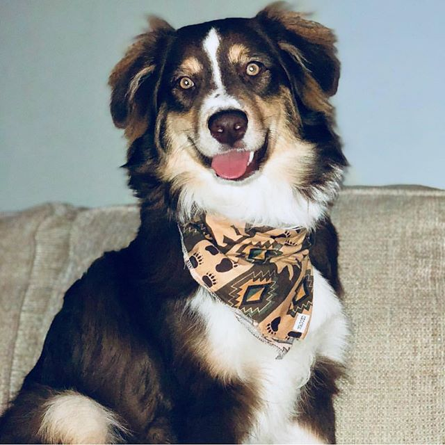 That face you make when it's pi day 😋🍰 Model: @indypup_the_aussie  Bandana: Koda . . . . . #dogsofinstagram #australianshepherd #aussiesofinstagram #aussiesofig #dog #dogoftheday #dogstagram #teamwagged