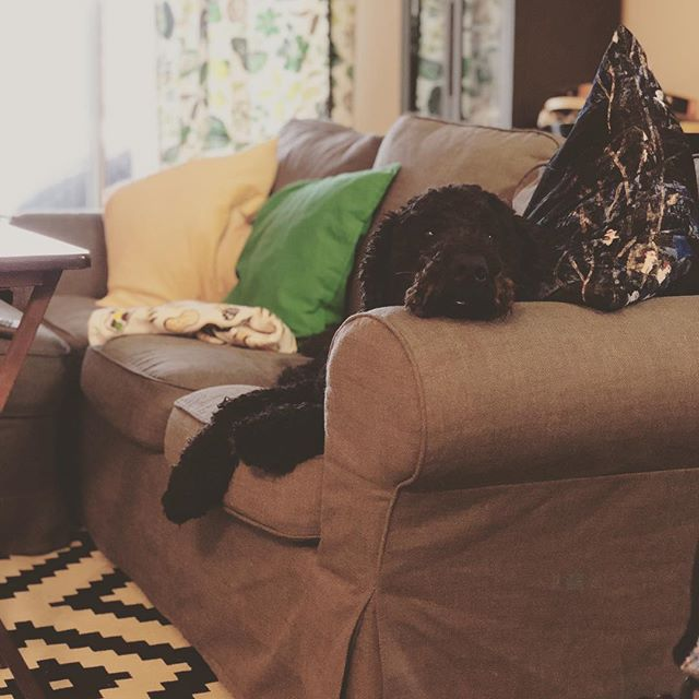 Do my toys dream of me? Do they have nightmares because of me? Do they know how much I really love them? Thinking Sunday while watching #nfl playoffs. #goldendoodle #goldendoodlepuppy #goldendoodlesofinstagram #doodlesofinstagram #doodles #couchsurfing #puppydreams