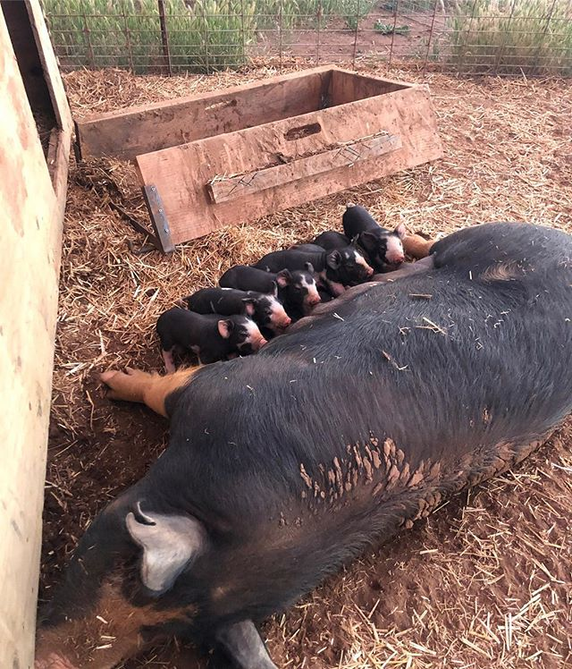 Five top ranks and seven underneath! ❤️ #hungrypiglets