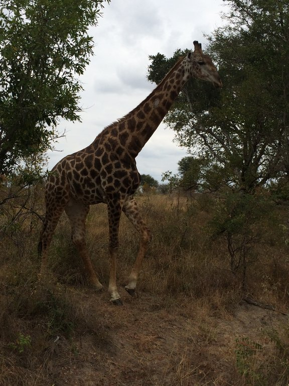 Linda girafa caminhando calmamente