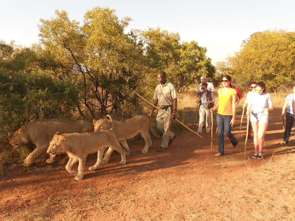 Caminhada com leões adultos Ukutula Lodge