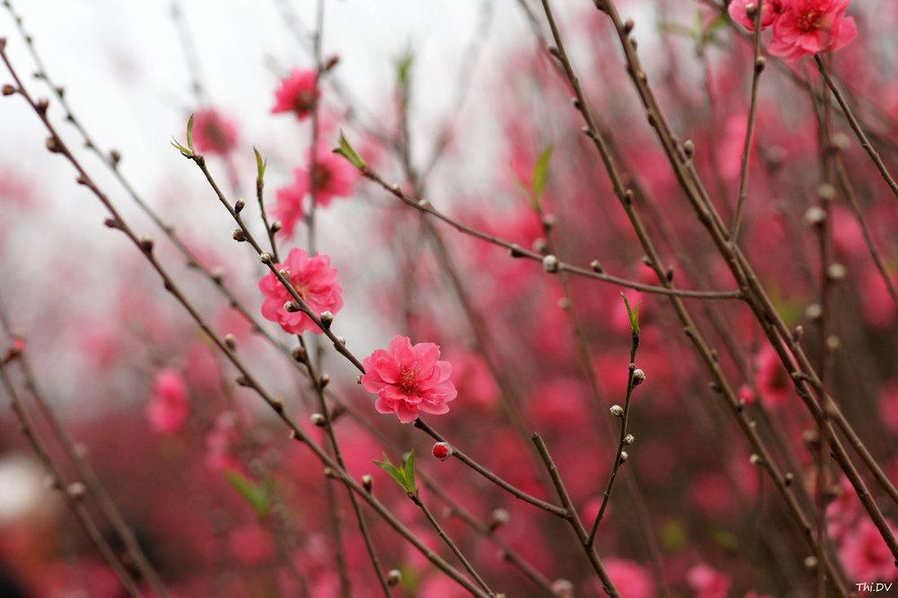 Photo: ix09                                          Cherry Blossom, a signature Tết flower in Northern Vietnam.