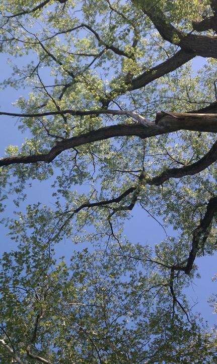 Springing Trees