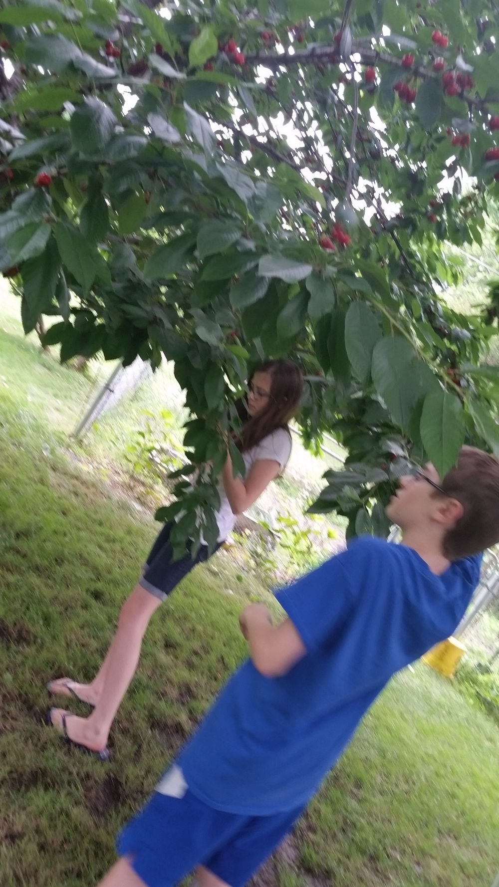 Now I teach my kids how to pick cherries in my parent's garden.