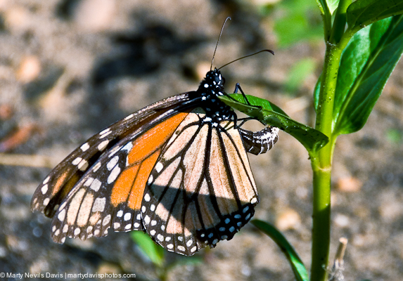 A tired migrant mom probably laying her last eggs after traveling thousands of miles. The Swamp milkweed was only a few inches tall.