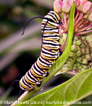 monarch_cat130x150_(c)_marty_n._davis-1.jpg