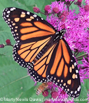 monarch_female130x150_(c)_marty_n._davis-6705.jpg