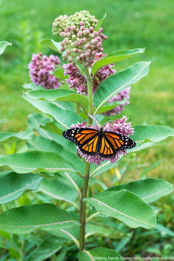 Common Milkweed  (Asclepias syriaca) with female monarch
