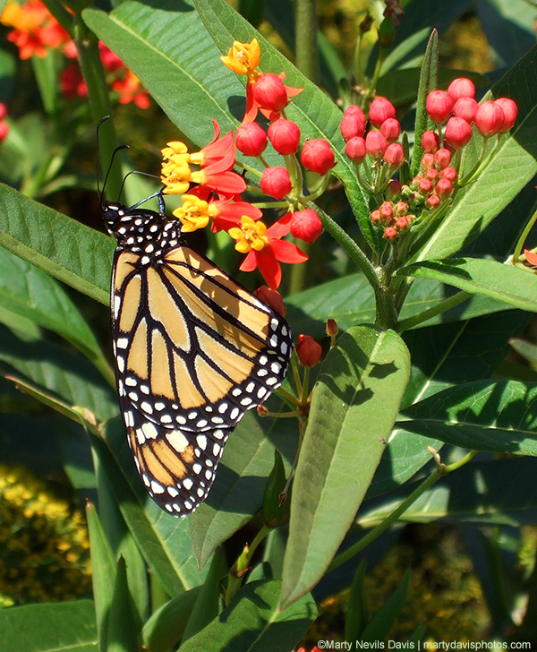Tropical Milkweed  (Asclepias curassavica)