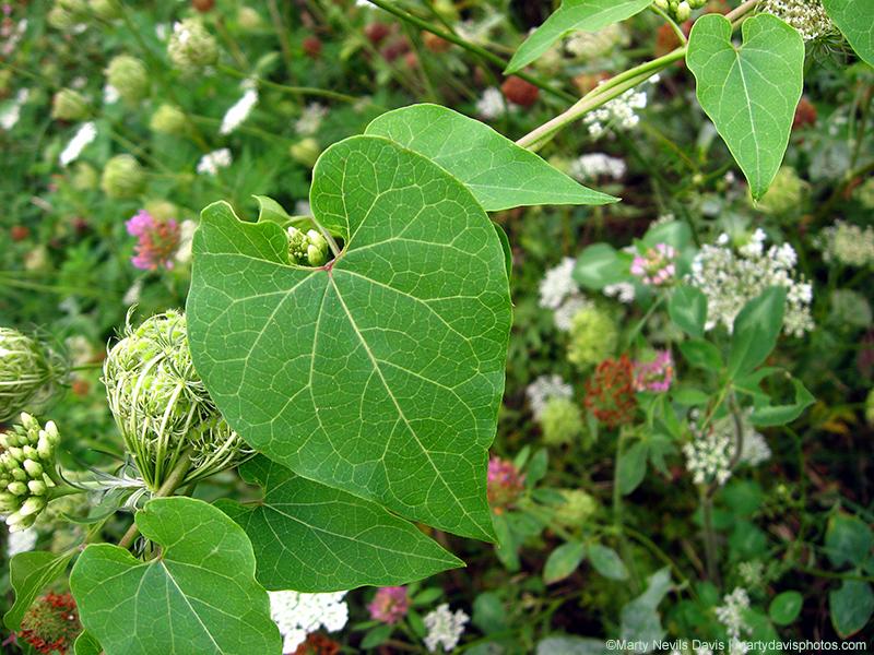 Sand Vine Milkweed (Cynanchum laeve)